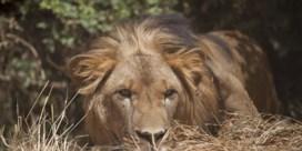 Leeuw maakt comeback in Gabon