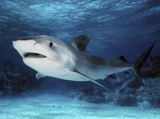 Jongen van 13 doodgebeten door haai