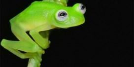 Nieuw ontdekte kikker lijkt sprekend op Kermit