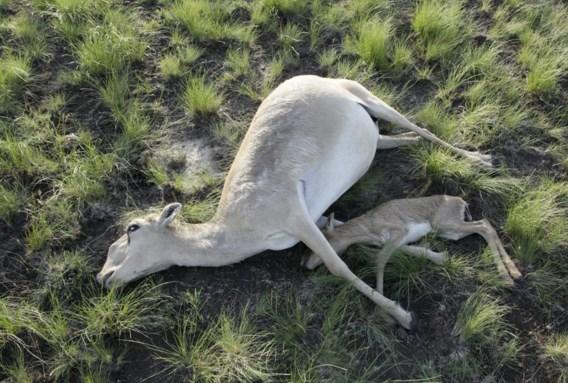In de steppen van Kazachstan zijn de afgelopen weken al meer dan 120.000 dode saiga-antilopen teruggevonden. Het is voorlopig een mysterie welke ziekte de beesten, die tot een bedreigd ras behoren, zo massaal velt. Er wordt gedacht aan een bacterie. Er circuleren ook andere speculaties. Zo krijgen de Russische raketten die in het land afgeschoten worden, de schuld. Al een derde van de Kazachse antilopenpopulatie is gestorven. Een oplossing is er nog niet.