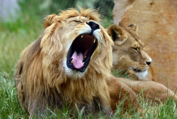 Leeuw doodt Amerikaanse toeriste tijdens safari