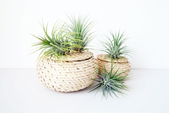 Deze planten hebben pot noch aarde nodig