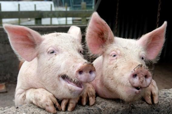 Gezonde varkens krijgen massaal antibiotica toegediend