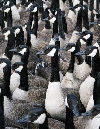 De ganzen ergeren bezoekers.