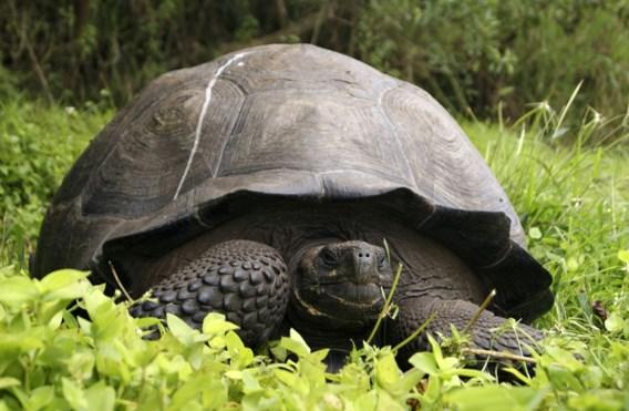 Nieuwe soort reuzenschildpadden op de Galápagos