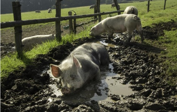 Niet gestresseerde varkens zijn ook lekkere varkens.