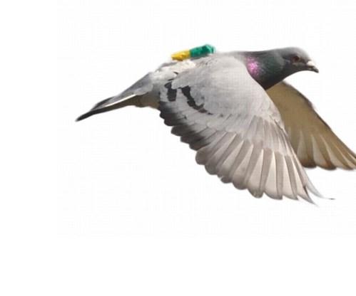 Een duif uit het onderzoek, met een zendertje op de rug.