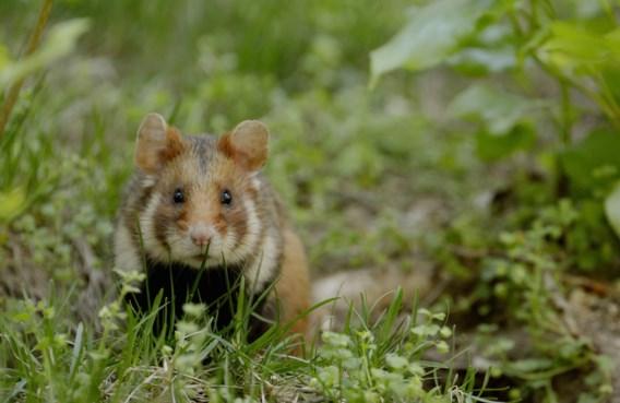 Vlaanderen gaat hamsters uitzetten