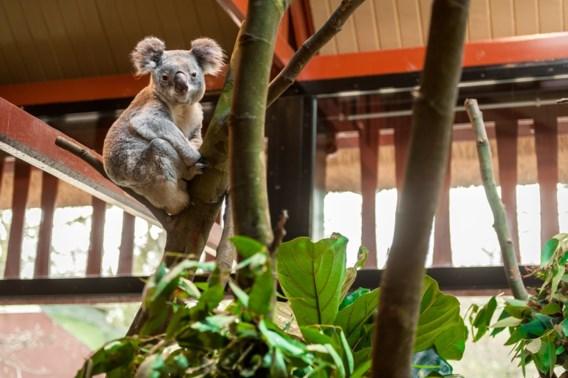 Koala gestorven in Antwerpse Zoo