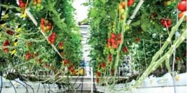 Urine maakt tomaten roder en zoeter