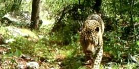 Allereerste video opgedoken van enige wilde jaguar in VS