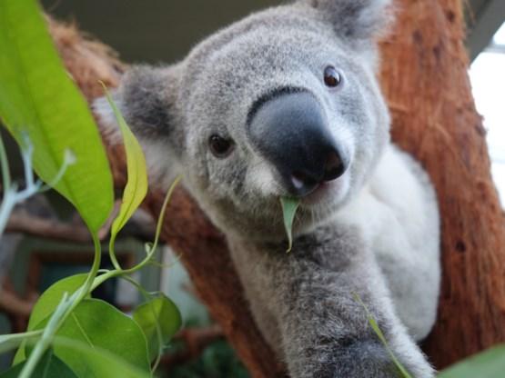 Pairi Daiza verwelkomt koala's