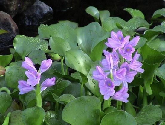 De waterhyacint, een kleurige toets in een grijze vijver.
