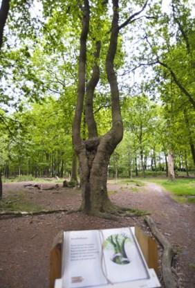 Deze boom in het Paalbos staat binnenkort te boek als monument.