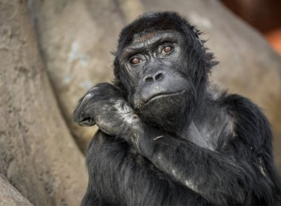 Gorilla Victoria gestorven in Antwerpse zoo
