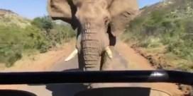 Safari Schwarzenegger niet naar de zin van deze olifant