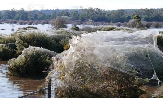 Tienduizenden spinnen vluchten voor overstroming