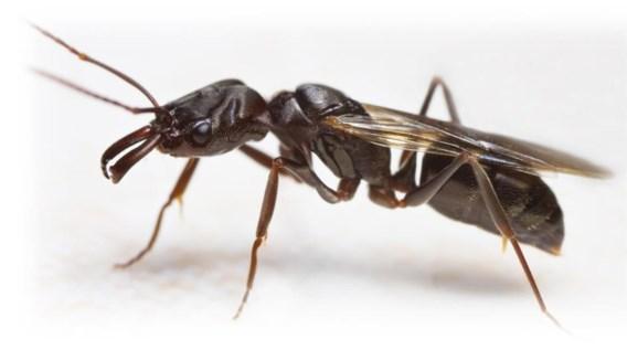 Bruidsvlucht zorgt even voor mierenplaag