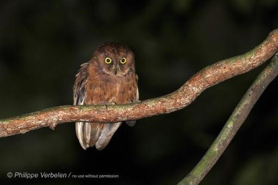 Belg ontdekt onbekende uilensoort op eiland in West-Afrika