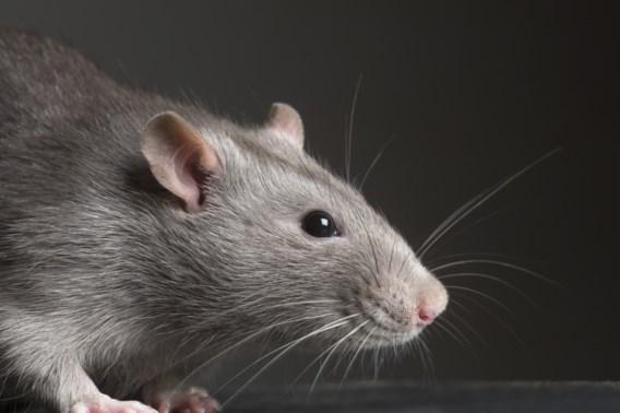 Nieuw-Zeeland wil alle ratten, buidelratten en hermelijnen uitroeien