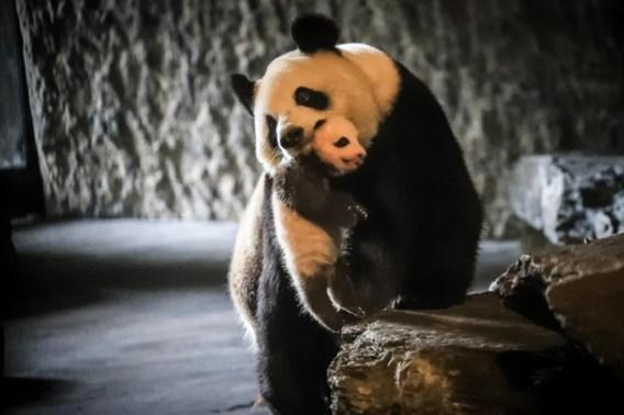 Toch geen afspraak maken om babypanda P. te zien
