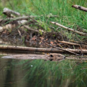 Bevers zijn niet alleen goede bouwers, ze creëren rond hun burcht ook waardevol natuurgebied.