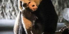 Panda's niet meer met uitsterven bedreigd