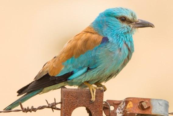 Zeldzame vogel voor het eerst in bijna 20 jaar weer gespot in Vlaanderen