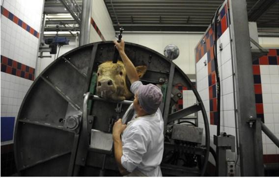 Een slager verdooft een rund voor het geslacht wordt.