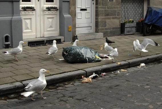 Meeuwen veroveren Vlaanderen