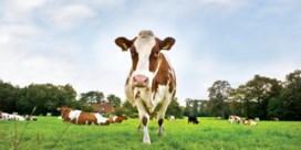 Dankzij supergras redt de koe het milieu