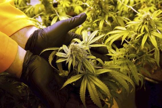 Vier staten legaliseren gebruik van marihuana