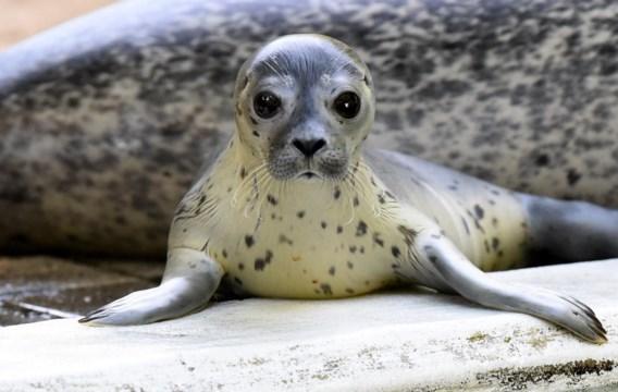 Eerste ponton voor vermoeide zeehonden geopend