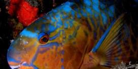 Hoe meer papegaaivissen, hoe meer koraal