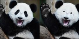 Waarom de panda een uniek kostuum heeft