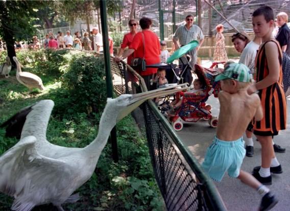 Zoo van Wenen laat alle pelikanen inslapen wegens vogelgriep