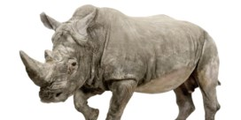 Een neushoorn zonder neushoorn, helpt dat tegen stropers?