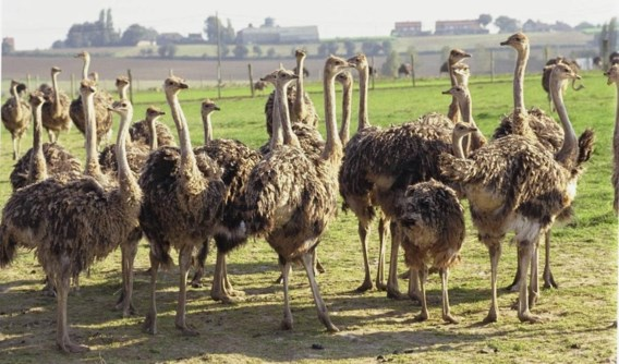 Kippen, duiven en struisvogels van hobbyhouders mogen weer buiten komen