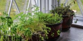 Waarom leven kruidenplantjes uit de supermarkt zo kort?