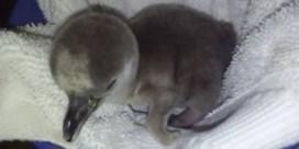 Sea Life Blankenberge verwelkomt pinguïnkuiken
