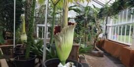 Tweede reuzenaronskelk in bloei in Plantentuin