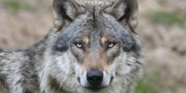 Wordt de wilde wolf een schootwolfje?