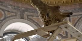 Olifant en giraf terug naar Tervuren