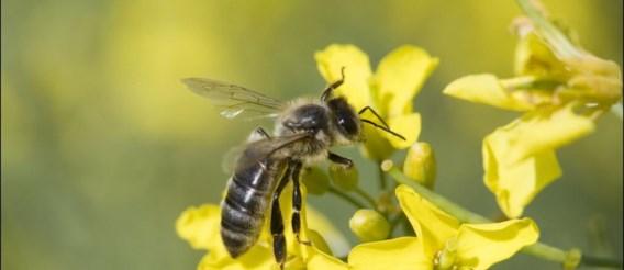 Imkers opgepast: 'Aziatische hoornaar' komt aan in Vlaanderen