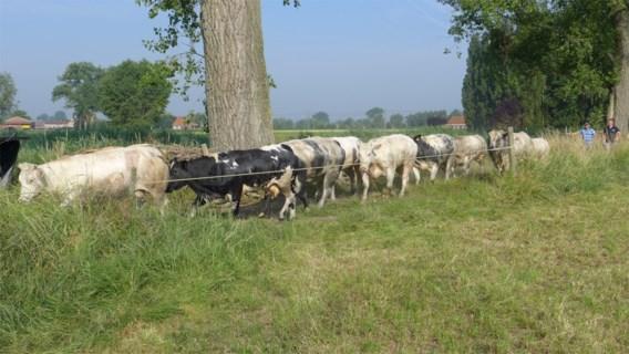 Wanhopige koeien trekken spoor van vernieling op zoek naar water