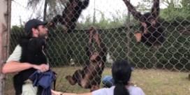 Koppel laat alles achter en besluit om tussen de chimpansees te leven