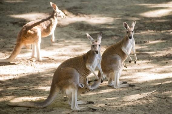 Zelfrijdende wagens komen maar beter geen kangoeroes tegen (en omgekeerd)