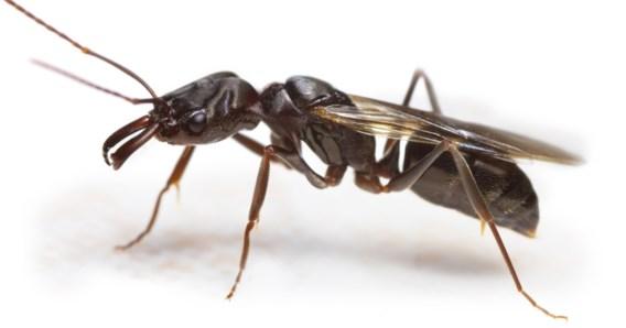 Waarom er plots overal vliegende mieren opduiken