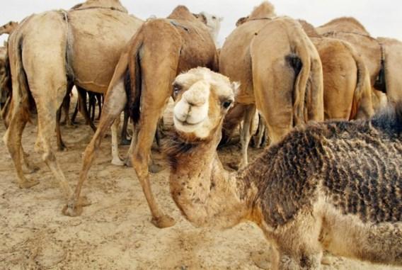 Vergeten slachtoffers van diplomatiek conflict: achtergelaten kamelen sterven van dorst