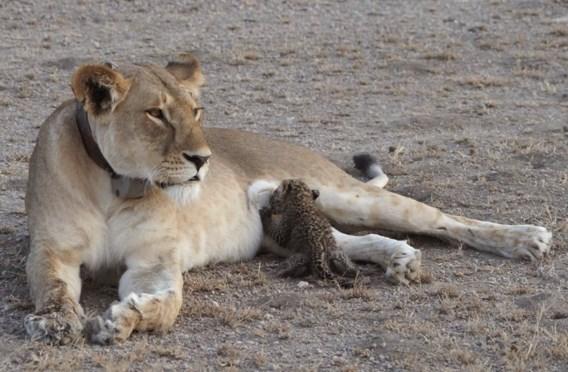 Leeuwin zoogt luipaardenwelp: 'Extreem uitzonderlijk'